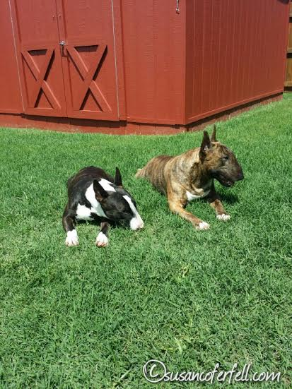 Sunning Bull Terriers